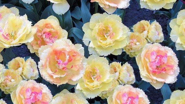 Romantic, Tulips, Pink, Tulip, Bulbs, Spring, Love