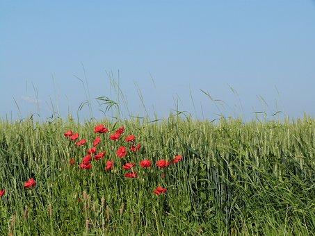 Field, Wheat, Epi, Poppy, Cultures, France, Summer