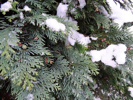 Winter, Snow, Tree, Conifer, Snowy, Branch, Nature