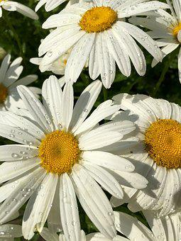 Daisy, Yellow, White, Flower, Floral, Nature, Plant