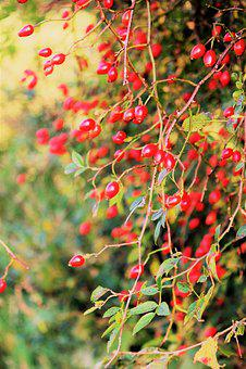 Autumn, Rose Hip, Light, Red, Autumn Fruits, Bush