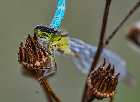Nature, Azure Bridesmaid, Dragonfly