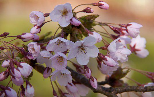 Pink, Cherry Blossom, Flowering, Spring, Buds
