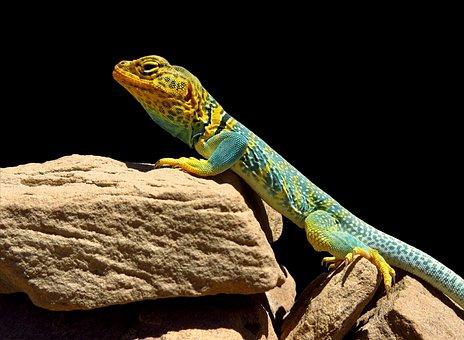 Collared Lizard, Reptile, Portrait, Animal World