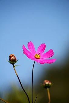 Cosmos, Autumn, Sky, Flowers, Pink, Petal, Landscape