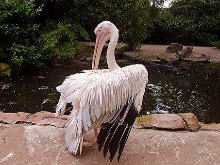 Pelikan, White Pelican, Dressing Up, Sociable