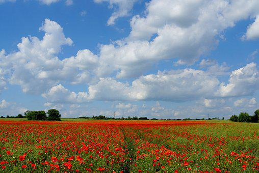 Meadow, Landscape, Field, Nature, Red, Blooming Poppies