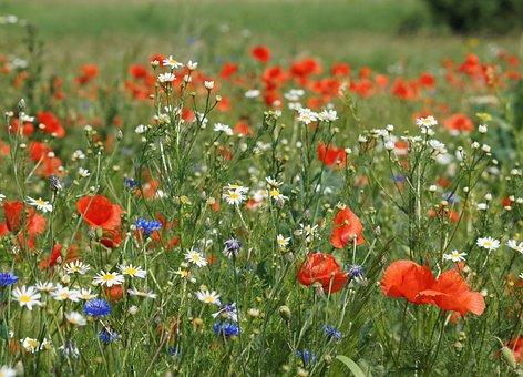 Meadow, Flowers Wildflowers, Cornflower, Poppies