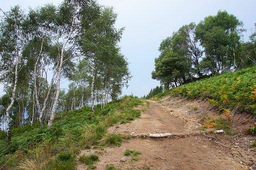 Birch, Forest, Away, Fern, Mountain, Trees, Alpine