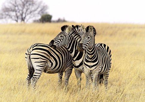 Zebra, Group, Stripes, Close, Posing, Bush