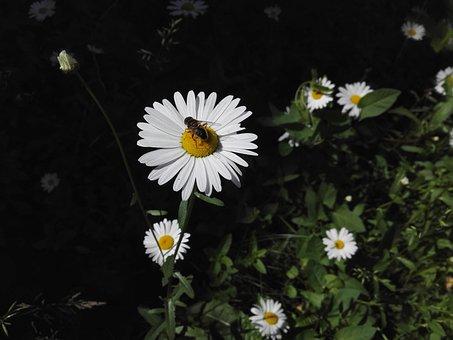 Daisy, Nature, Bee, Harmony, Summer