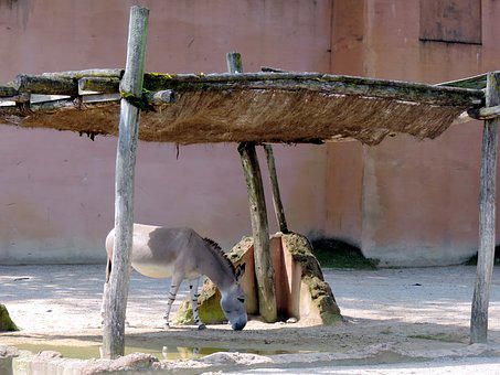 Donkey, Livestock, Mammal, Beast Of Burden, Animal, Fur
