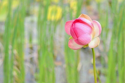Lotus Flower, Aquatic Plant, Lotus, Flower, Pink