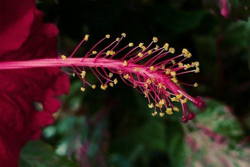 Red Hybiscus, Pistil, Flower, Macro, Plant, Nature