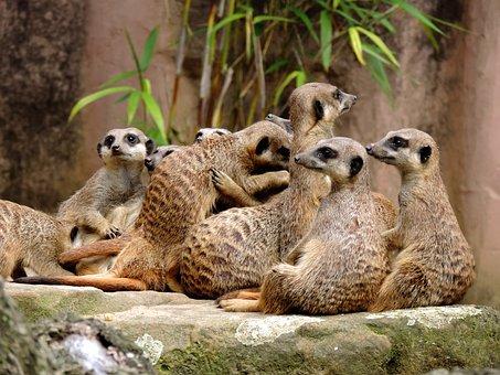 Meerkat, Mongoose, Suricata, Vigilant, Curious, Popular