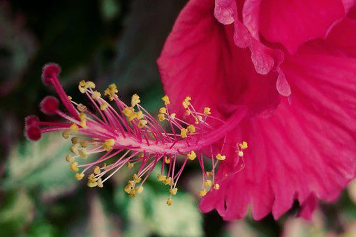 Red Hybiscus, Pistil, Flower, Macro, Nature, Flora