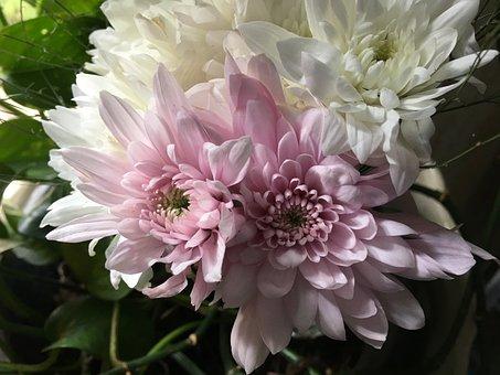 Dalia, Flowers, Plant, Petals, Rosa, Nature, Garden