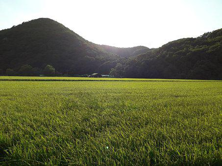 Autumn, Grain, Harvest, Country, Rice, Farming, Rural