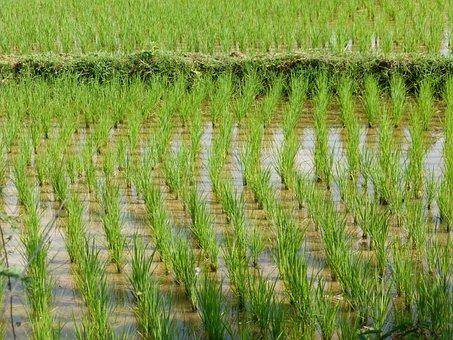Laos, Rural Landscape, Rice Field