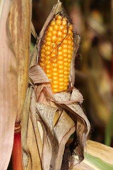 Switzerland, Field, Corn