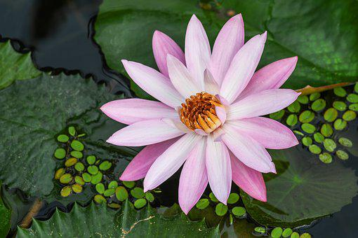 Flower Of Water-lily, Aquatic Plant, Flower, Water Lily