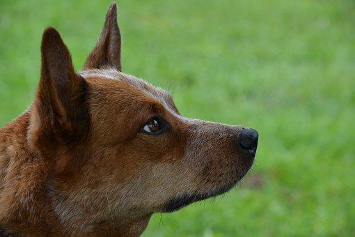 Dog, Pet, Australian Cattle Dog, Domestic, Canine