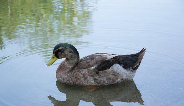 Duck, Waterfowl, Pond, Bird, Nature, Wildlife, Water