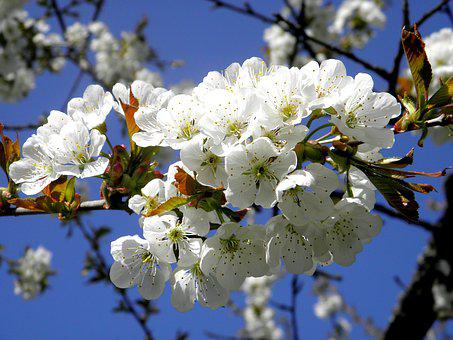Cherry, Blossom, Bloom, Cherry Blossom, Spring, Branch