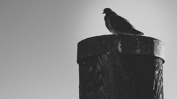Dove, Port, Bird, City Pigeon, Seevogel, Plumage
