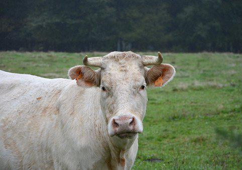 Cow, White Cow, Head Face, Horns, Pasture, Field