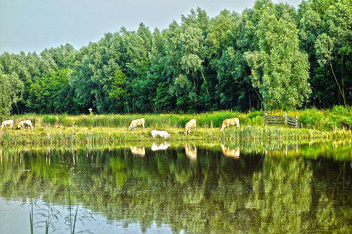 Animal, Cattle, Cows, Cow, Herd, Livestock, Grazing