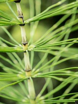 Horsetail, Fern, Close, Forest Horsetail, Equisetum