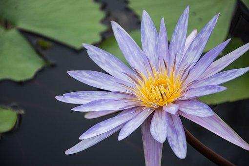 Flowers, Lotus, Purple Lotus, Bloom, Lotus Leaf