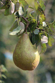 Pear, Fruit, Ripe, Healthy, Harvest, Fruits, Delicious