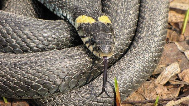 Animals, Snake, Krupnyj Plan