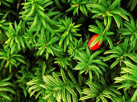 Berry, Bush, Leaf, Leaves, Hedge, Nature, Garden, Green
