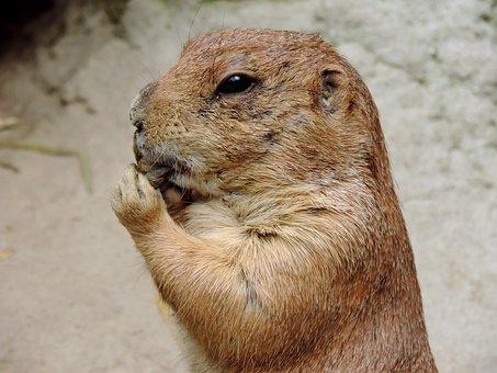 Marmot, Rodent, Gophers, Mankei, Animal, Nature, Cute