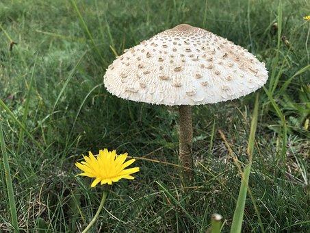 Mushroom, Nature, Grass, Meadow, Close