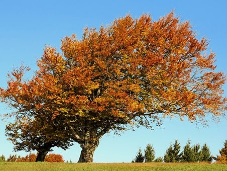 Tree, Beech, Autumn, Deciduous Tree, Old Tree, Gnarled