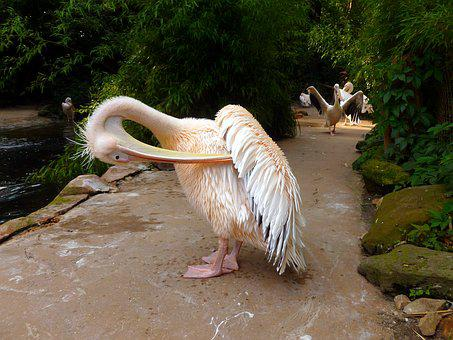 Pelikan, White Pelican, Water Bird, Heraldic Animal