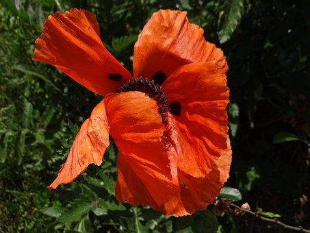 Poppy, Flower, Poppy Flower, Nature, Red, Plant