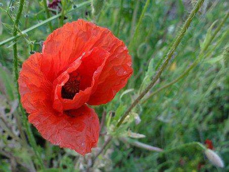 Poppy, Flower, Meadow, Wild, Red, Blooms, Plant