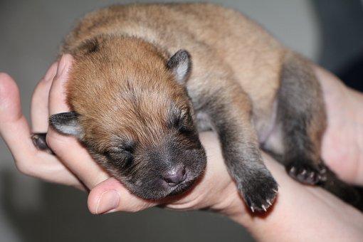 Puppy, Eurasians, Dog, Cute, Dog Breed, Sweet, Pet