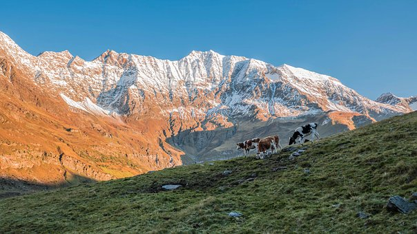 Cows, Pasture, Alpine, South Tyrol