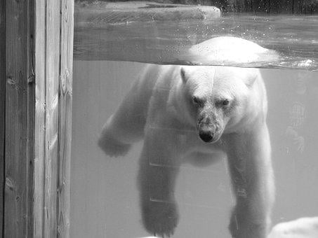 Bear, Animal, Ice Floe, Wild Animal, The Bear, Mammal