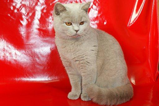 British Shorthair Cat, Bkh, Thoroughbred, Cat