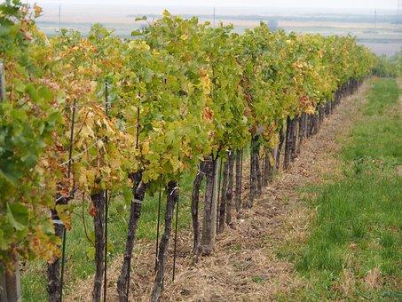 Wine, Vineyard, Vines, Vine, Grapes, Winegrowing, Plant