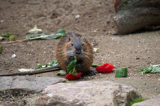 Raccoon, Zoo, Animal, Furry, Cute, Fur, Mammal