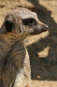 Meerkat, Animal, Sandy, Wildlife, Mammal, Small, Cute
