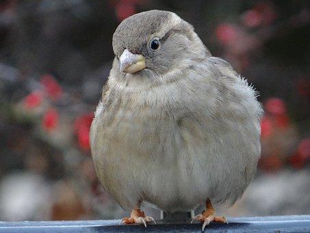 The Sparrow, Bird, Gray, Nature, Wróblowaty, Urban Bird